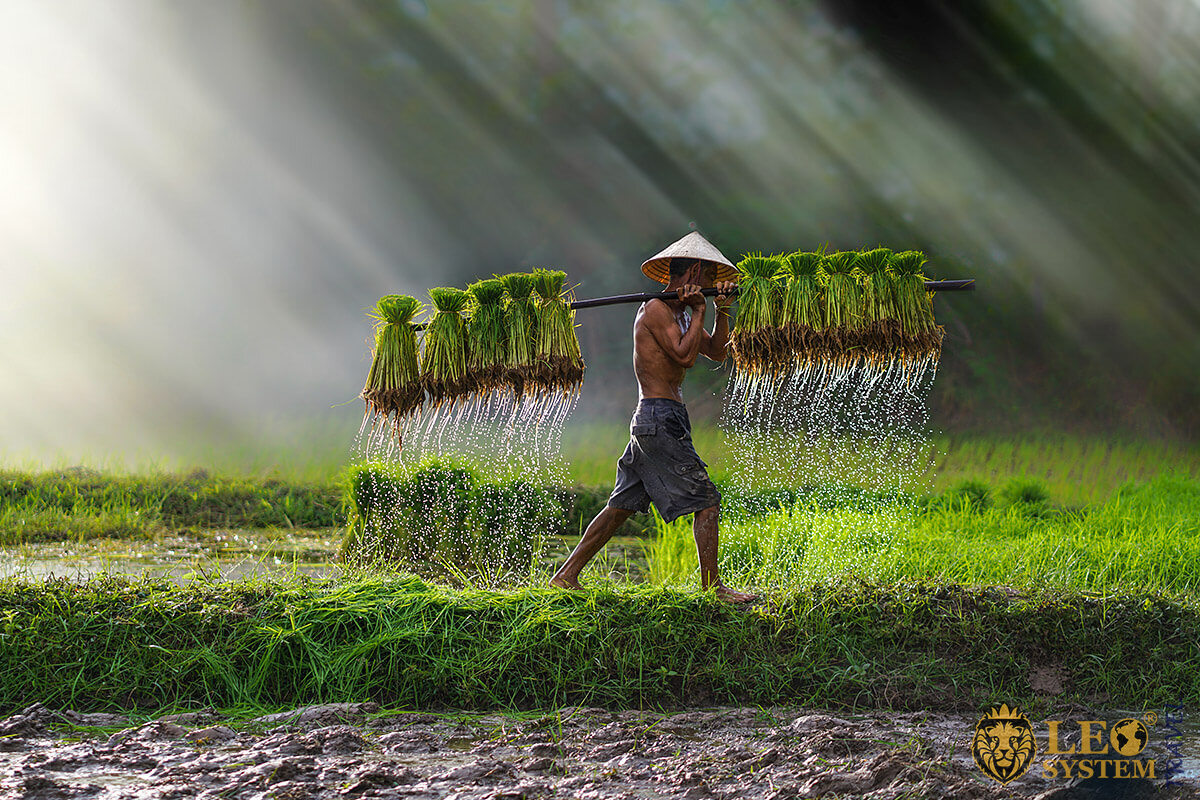 Asian farmer goes with rice seedlings for planting