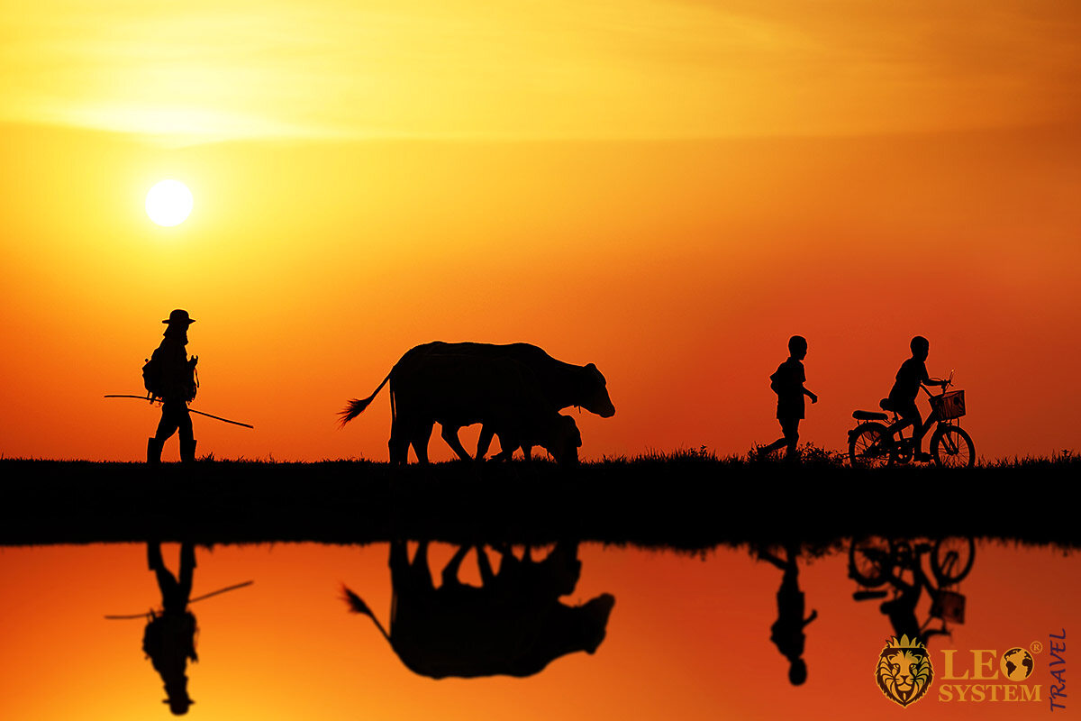 The walk of a man with children and a cow at sunset