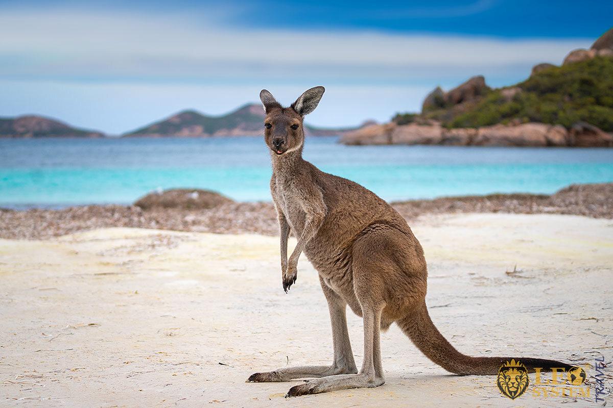 Image of Western Grey Kangaroo, Australia