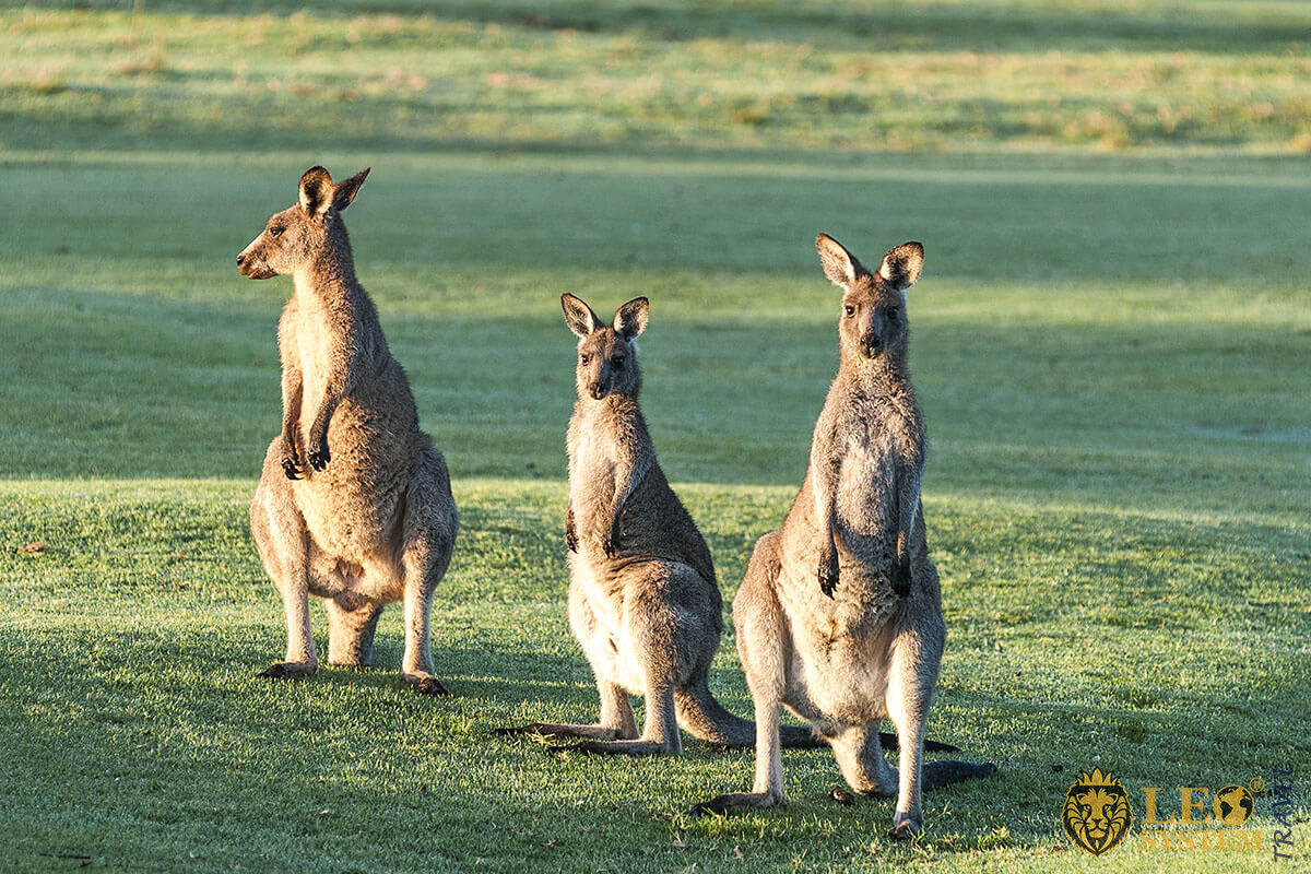 Image of an Eastern Gray Kangaroo in Australia