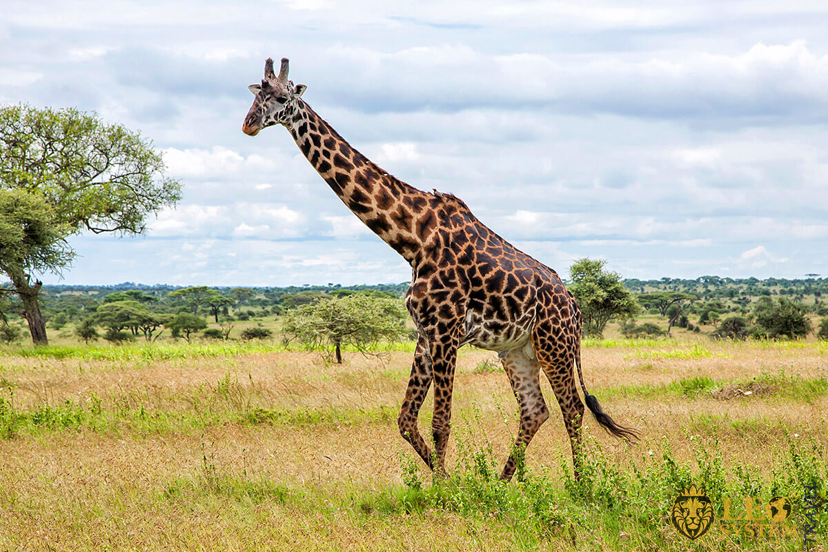 Image of tall giraffe in African National Park