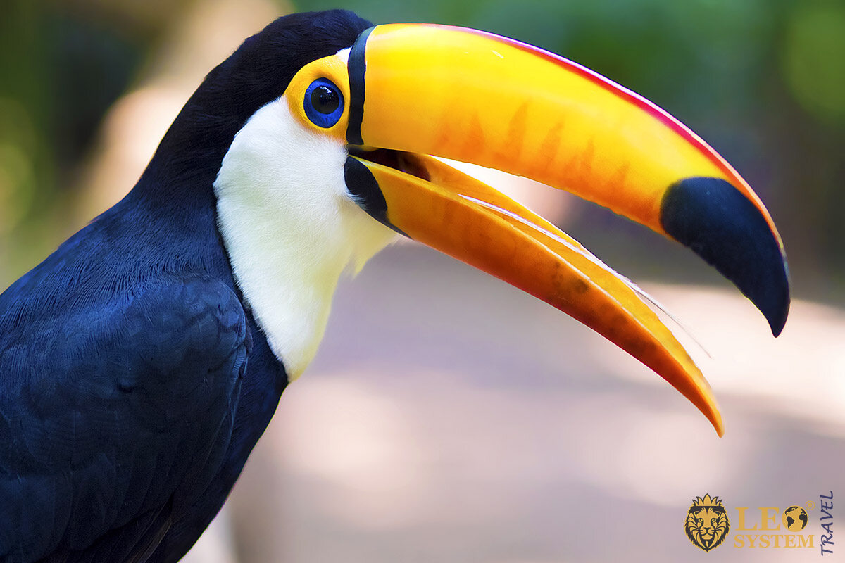 Beautiful big Toucan sitting on a branch