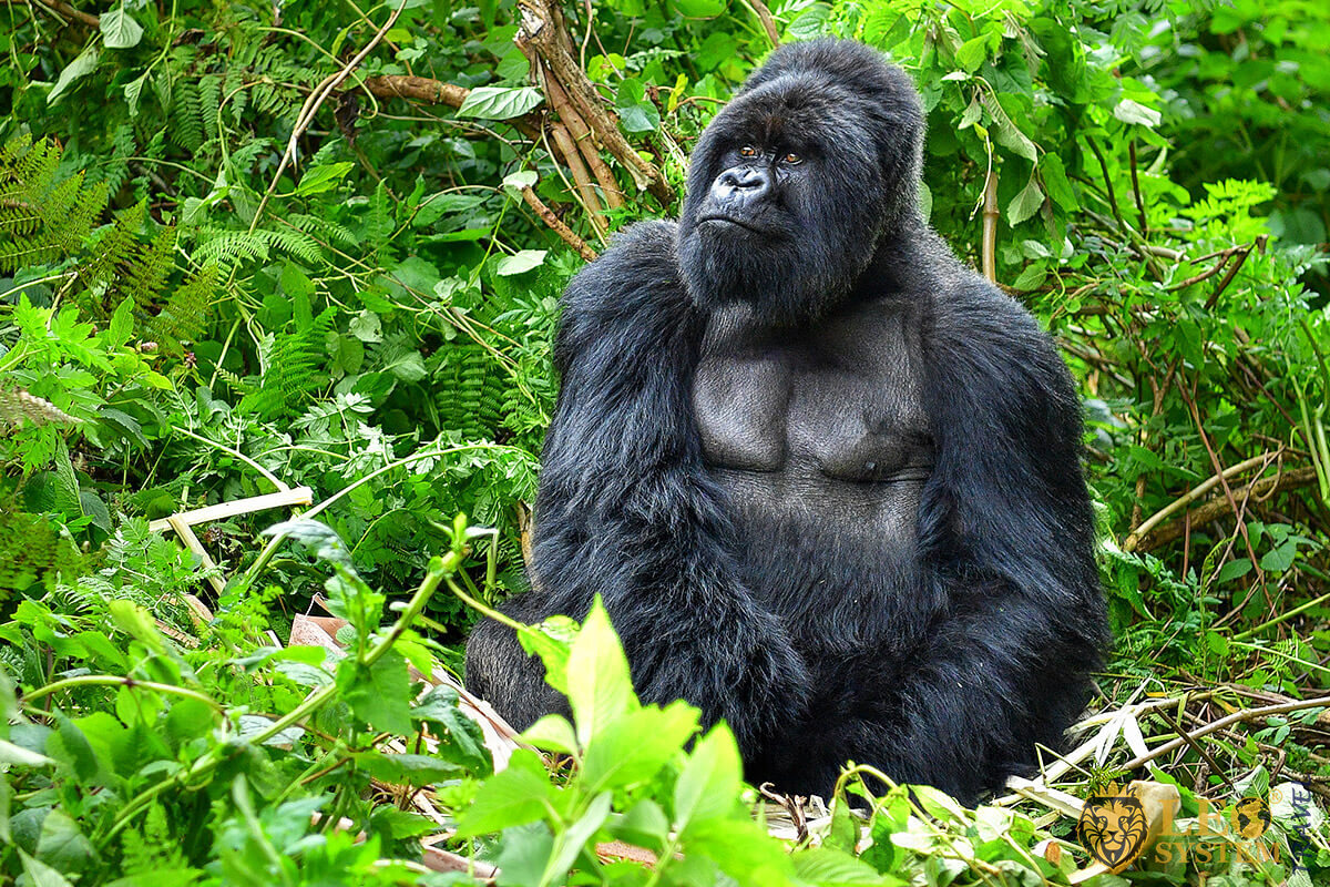 Image of a gorilla monkey in Africa