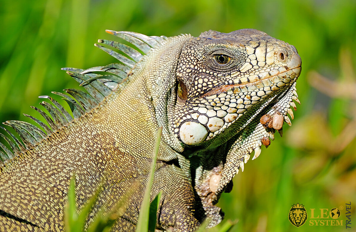 Image of green Iguana