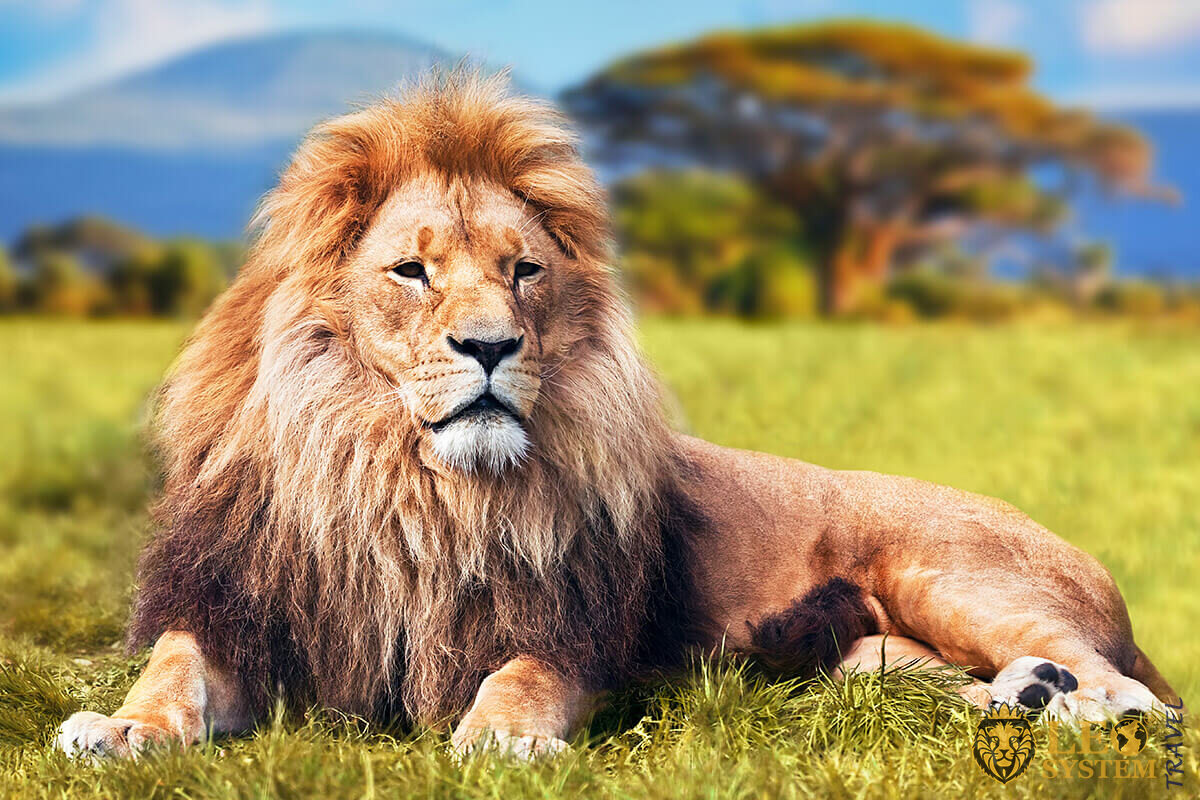 Image of a large lion lying on the grass