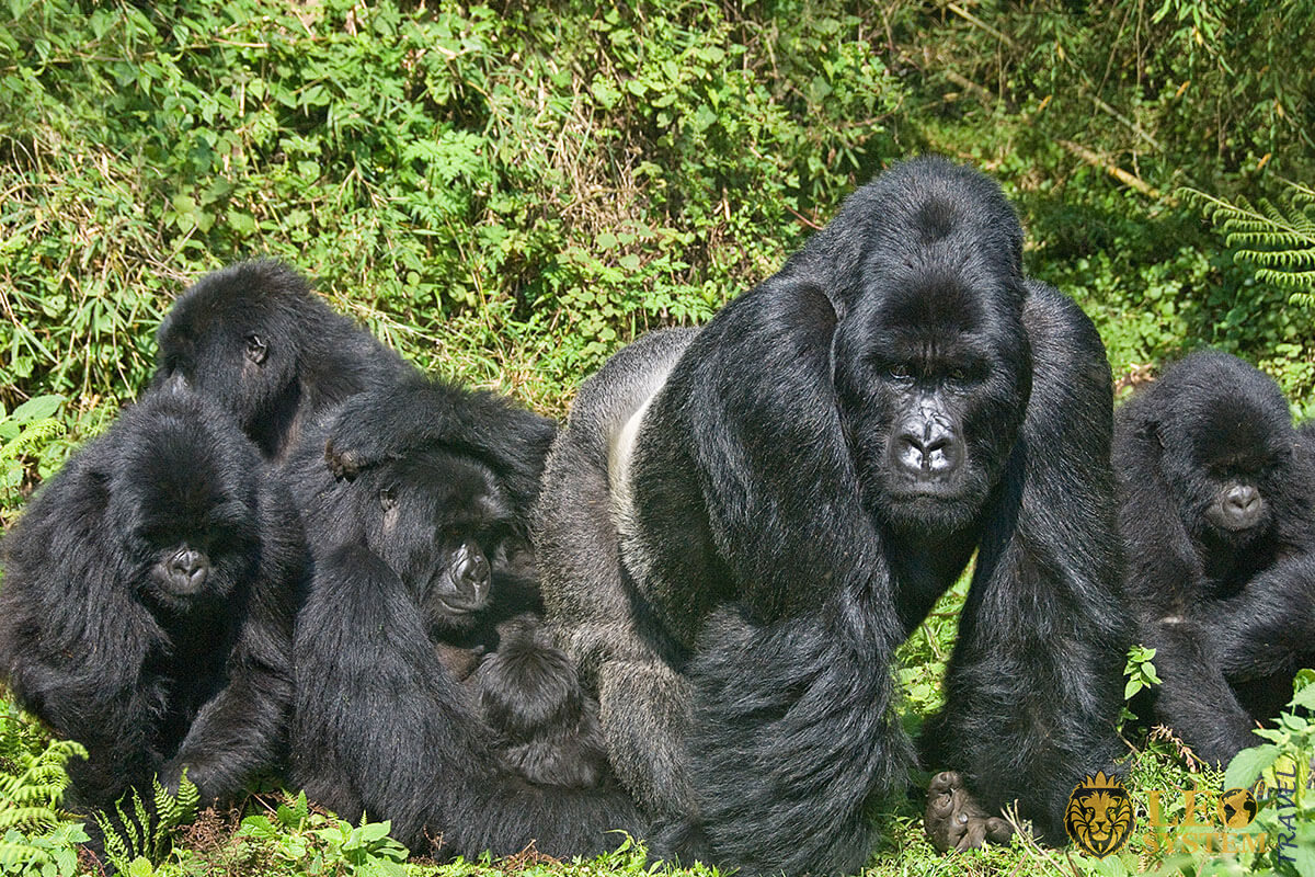 Image of a gorilla family