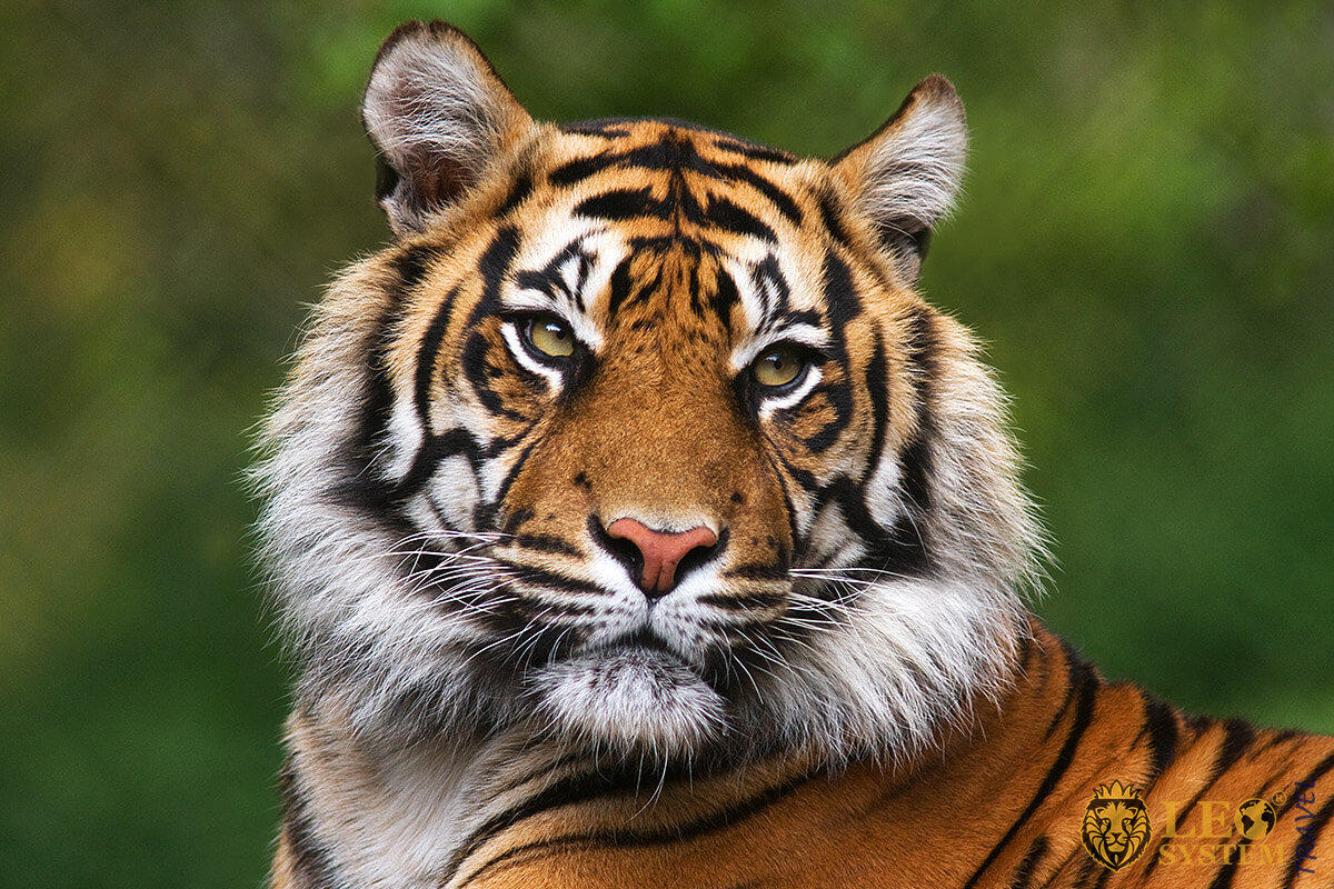 Image of a beautiful Bengal tiger, Mexico