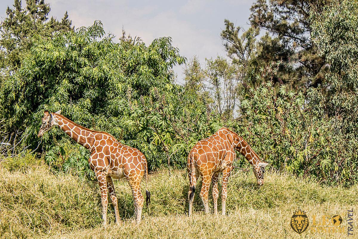 Image of giraffes that eat tree leaves, Guadalajara, Mexico