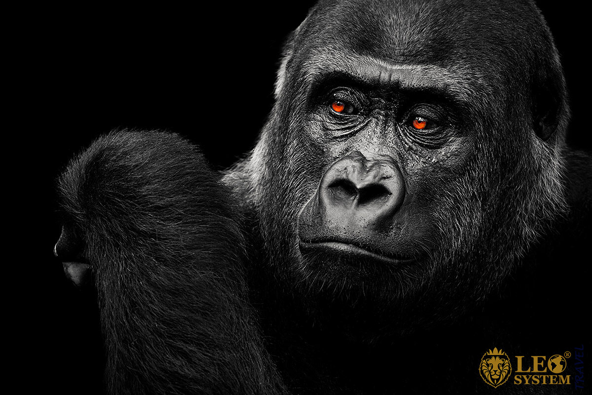 Image of a large and beautiful Gorilla