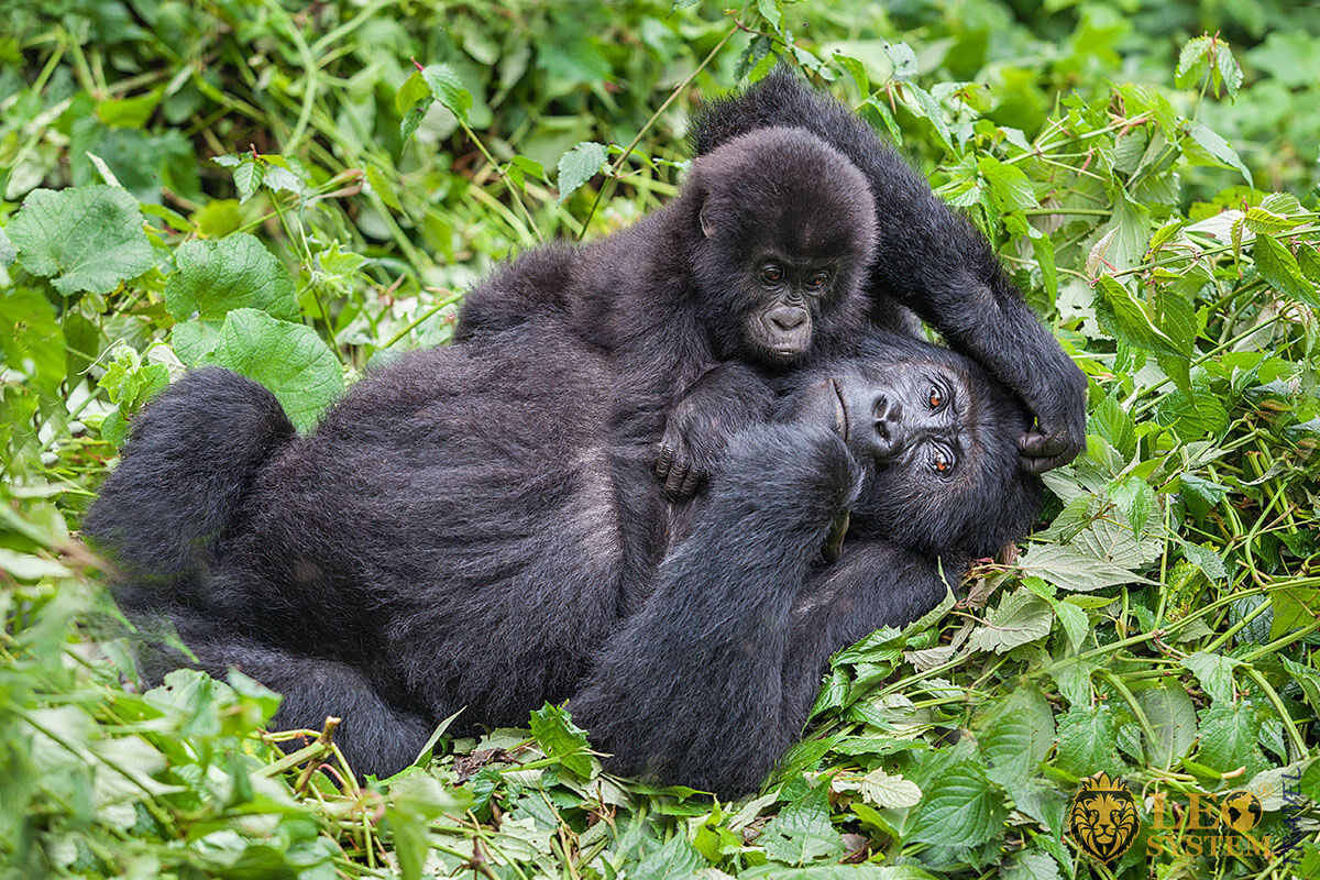 Image of a Gorilla mother and her baby who play in the wild, Republic of the Congo