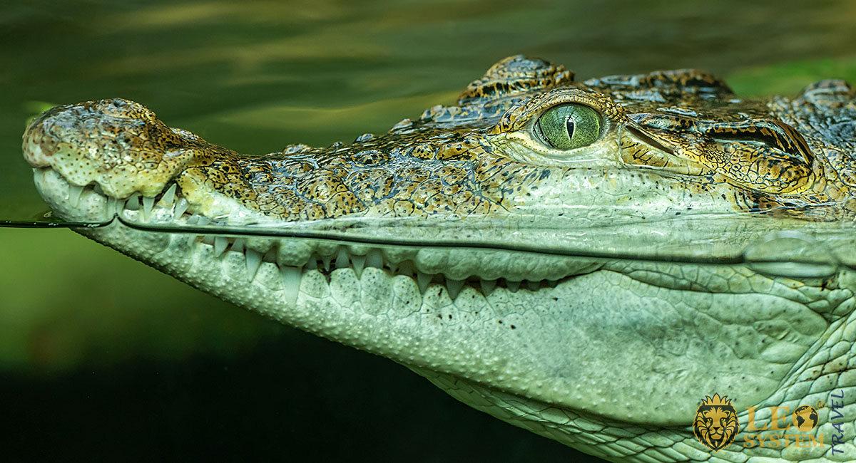 Image of a crocodile with big teeth