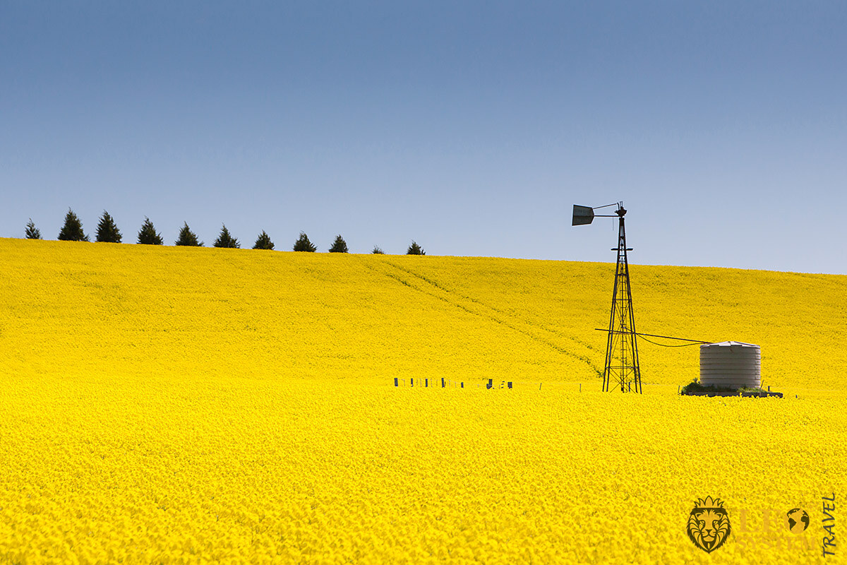 Image of Canola Fields, Victoria, Australia